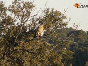 Ejemplar juvenil de águila imperial.