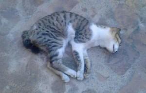 mueren-gatos