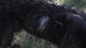 Una de las lesiones cutáneas de los perros