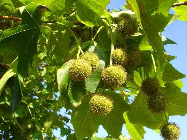 Cs, PP y Somos aprueban sustituir los árboles de Majadahonda que causan alergias