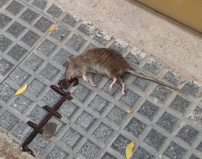 Una enorme rata siembre el pánico en la Gran Vía de Majadahonda