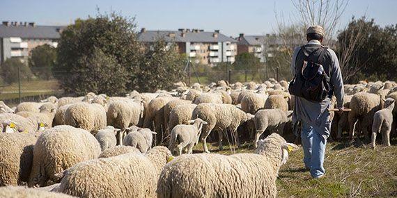 """Las ovejas de la trashumancia descansan en Majadahonda antes de su """"día grande"""" en Madrid"""