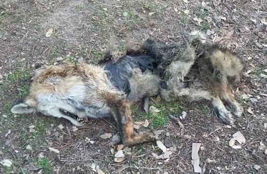 Una vecina de Majadahonda encuentra muerto y desollado al zorro que merodeaba por el Monte del Pilar