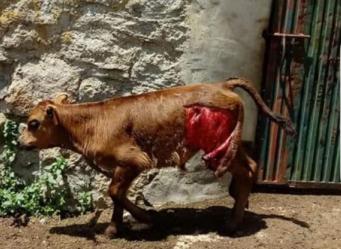 """Los ganaderos critican a GREFA Majadahonda por negar que """"el 99,99% del sector sufre ataques de lobos"""""""