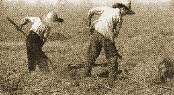 Algarroba para chocolate y golosina para el ganado: la economía agrícola de Majadahonda siglo XX