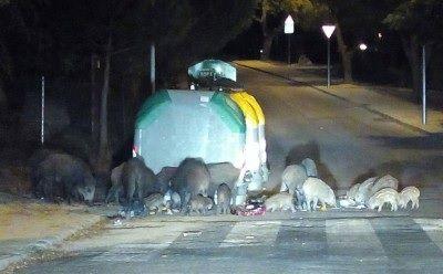 Una manada de jabalíes hambrientos causa temor junto a un parque infantil de Majadahonda