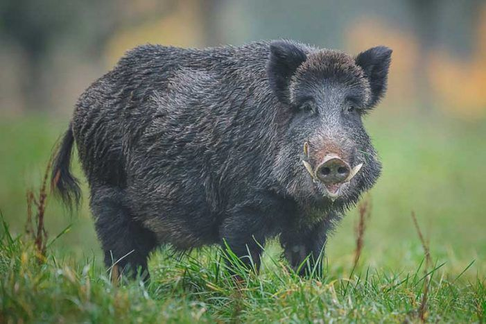 Wildlife Majadahonda alerta de más jabalíes que ya llegan a la España urbana
