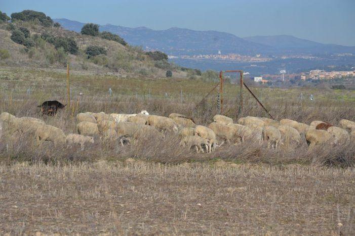 """Wildlife Majadahonda defiende al pastor: """"han condenado a muerte a los corderos lechales"""""""