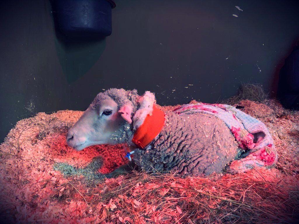 """Muere entre """"dolores, fracturas y hemorragias"""" la oveja """"Rachel"""" de Majadahonda rescatada por Santuario Vegan"""