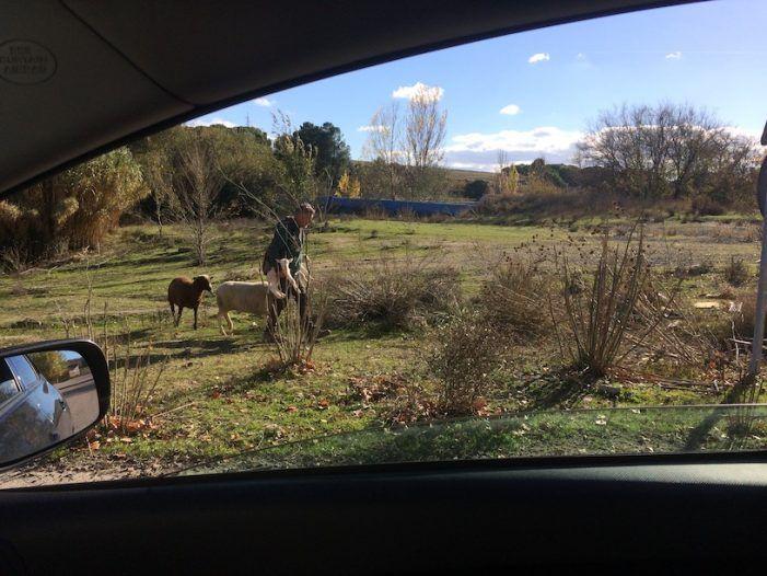 """Dos atropellos de ovejas fuerzan la """"incautación"""" del rebaño del pastor en Majadahonda"""