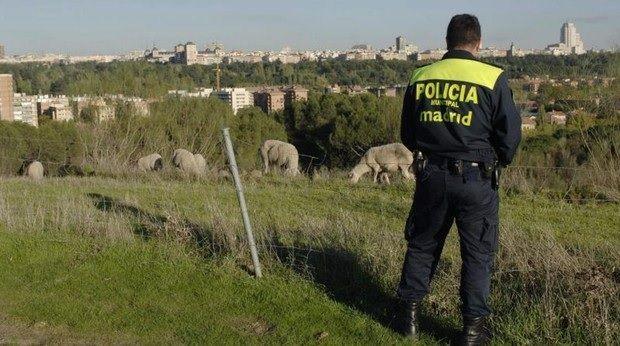 Un vecino recuerda que el pastor de Majadahonda acumula más de 40 denuncias por abandonar ovejas