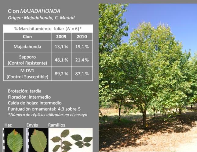 """Alertan la caída de árboles podridos en La Granadilla: proponen plantar """"Olmos Majadahonda"""""""