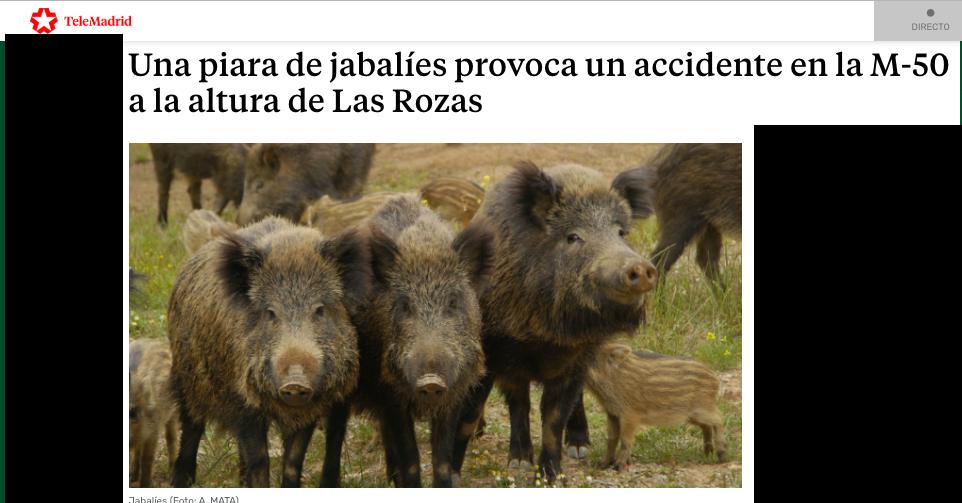 10 jabalíes asoman otra vez por Las Rozas: accidente en la M-50 a la altura del Heron City