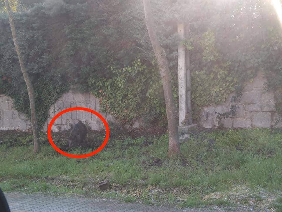 Los jabalíes vuelven al Parque Majalacabra por Año Nuevo: Zona Oeste Madrid pide más permisos de caza