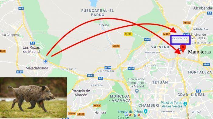 Los jabalíes huyen de la Zona Oeste por el Monte del Pardo hasta Madrid capital