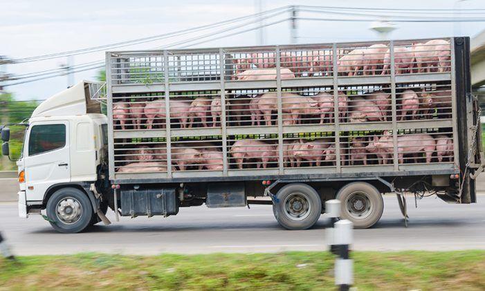 """170 cerdos """"estresados"""" descontrolan un camión en Las Rozas (A-6) y provocan un choque con un herido grave y 6 coches afectados"""