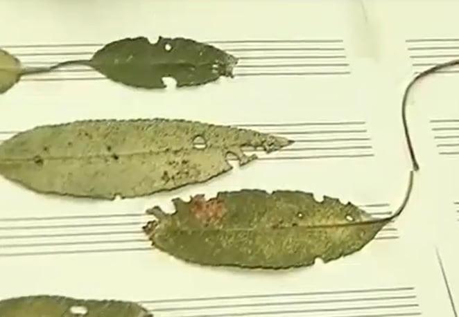 El músico Juan Zamora (Majadahonda) crea partituras con hojas de árboles, insectos y bacterias