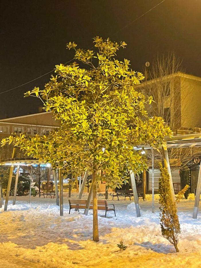 """""""Los magnolios de Majadahonda han resistido el temporal de nieve mejor que el pino y la encina"""""""