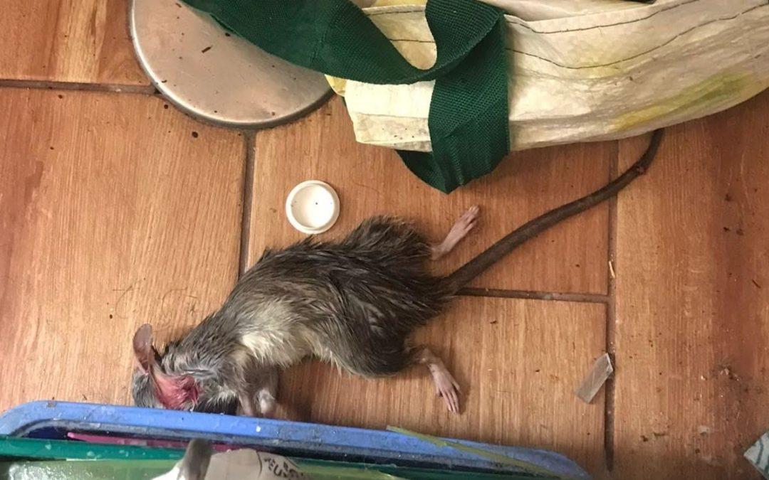 Las ratas reaparecen en las viviendas municipales propiedad del Ayuntamiento de Majadahonda